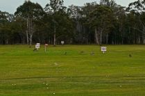 Kangaroos all over the driving range