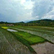 Rice paddies, Samosir Island