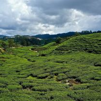 cameron highlands tea plantation