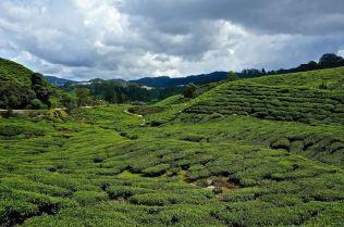 cameron highlands tea plantation